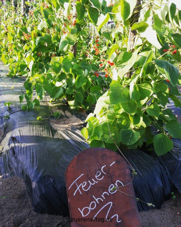 Feuerbohnen wachsen mit Troepfchenbewesserung und Plastikfolie für warme Fuesse